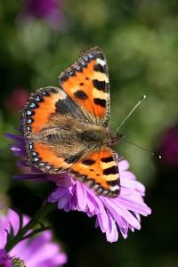 Projekt-Schmetterlingsprojekt-KleinerFuchs